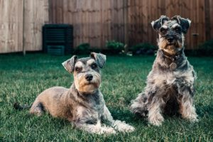 Two Airedale terriers sitting on a lawn